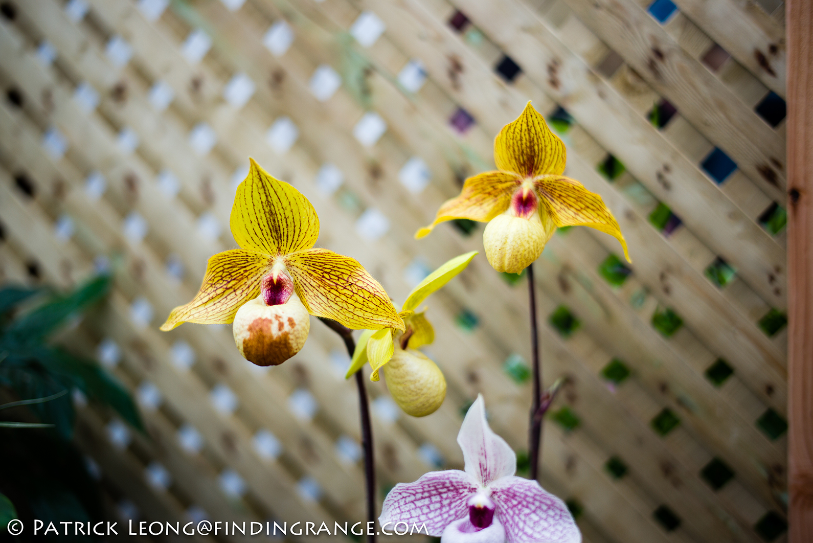 how to regrow cut orchids