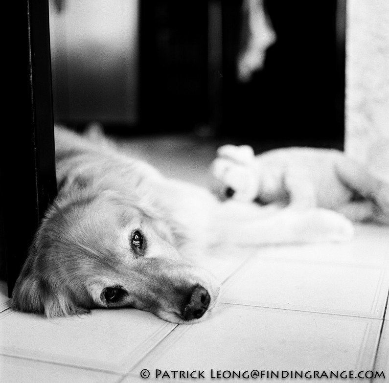 Hasselblad-503cw-Millennium-80mm-Planar-Golden-Retriever-Dog