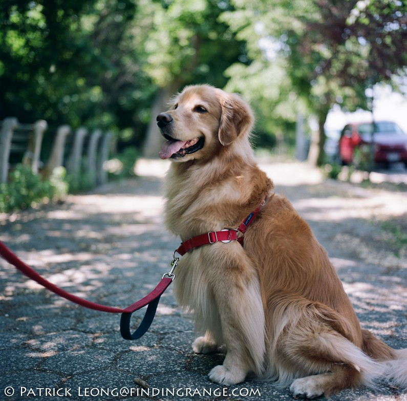 Hasselblad-503cw-Millennium-80mm-Planar-New-York-City-Bayridge-Shore-Road-Golden-Retriever-Dog