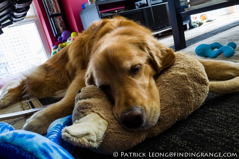 Leica-Q-Typ-116-Golden-Retriever