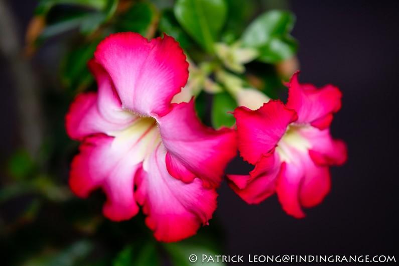 Fuji-X-T20-XF-50mm-f2-R-WR-Lens-Flower-4